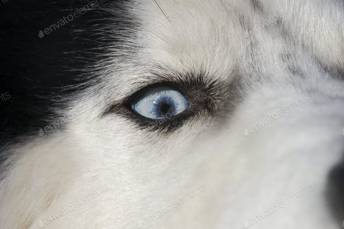 Siberian Husky dog close-up portrait with blue eye looks to right