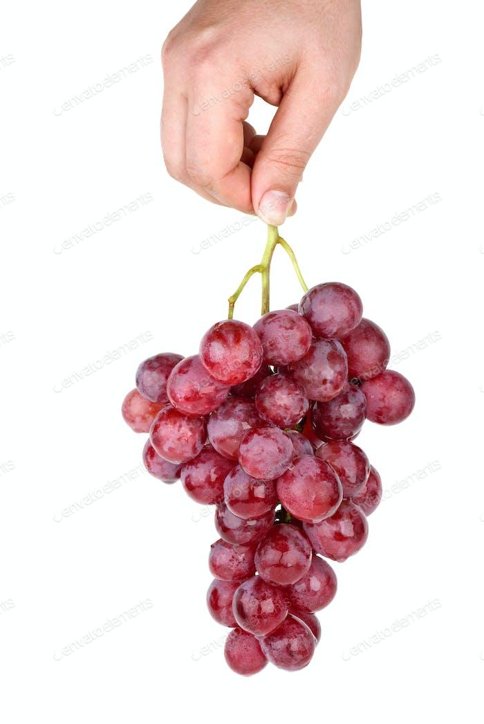 Hand hält Bündel von rosa Trauben