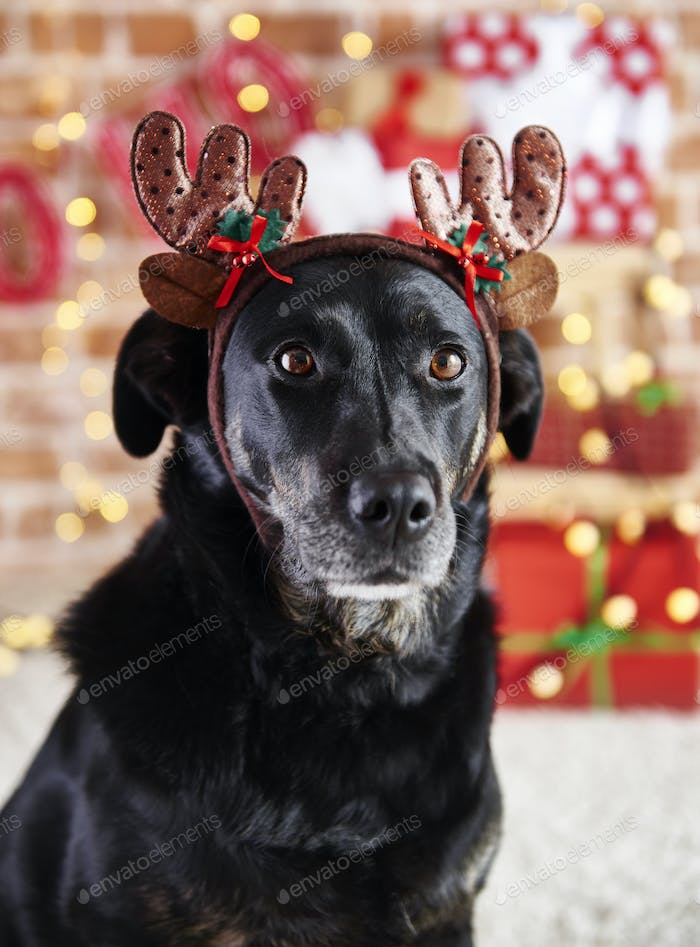 Close up of sad dog with reindeer's antlers