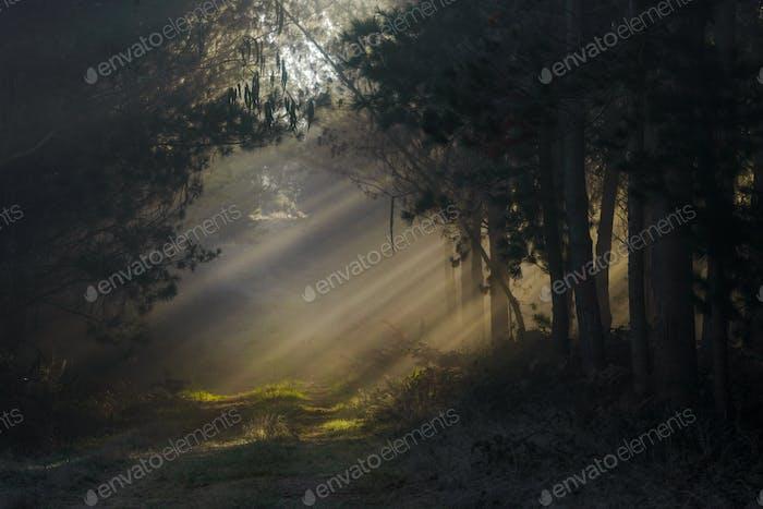 Sonnenbohnen über die Bäume