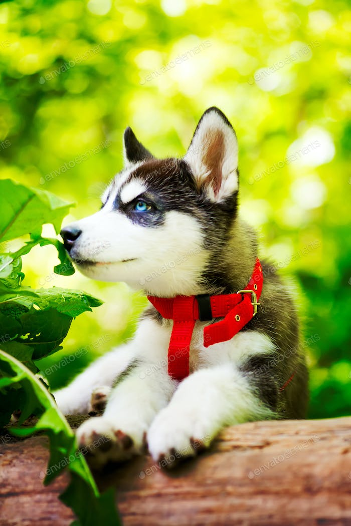 Siberian little Husky breed dog lying on green grass in the forest on a leash