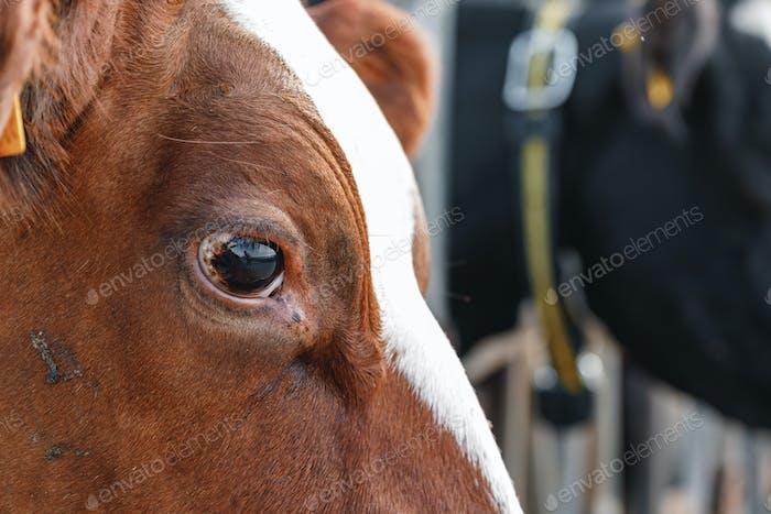 Primer plano del ojo de vaca marrón
