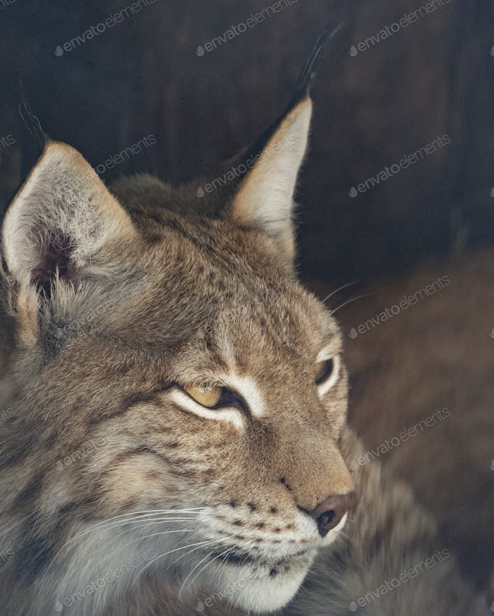 Lynx Looks With Predatory Eyes From The Shelter.