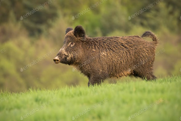Wild boar, sus scrofa, walking trough a spring meadow