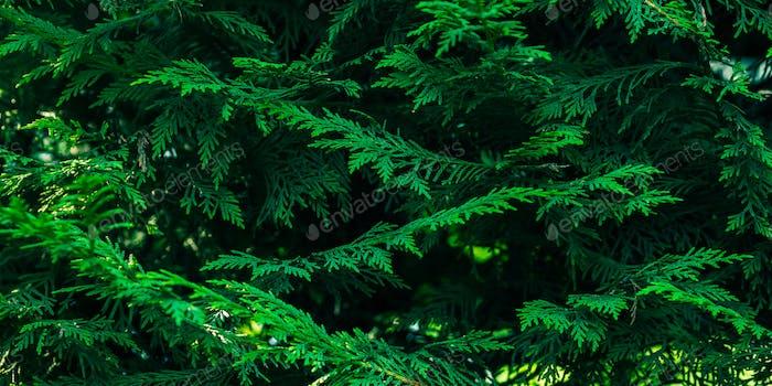 Grüne Tanne Winter Weihnachten Hintergrund