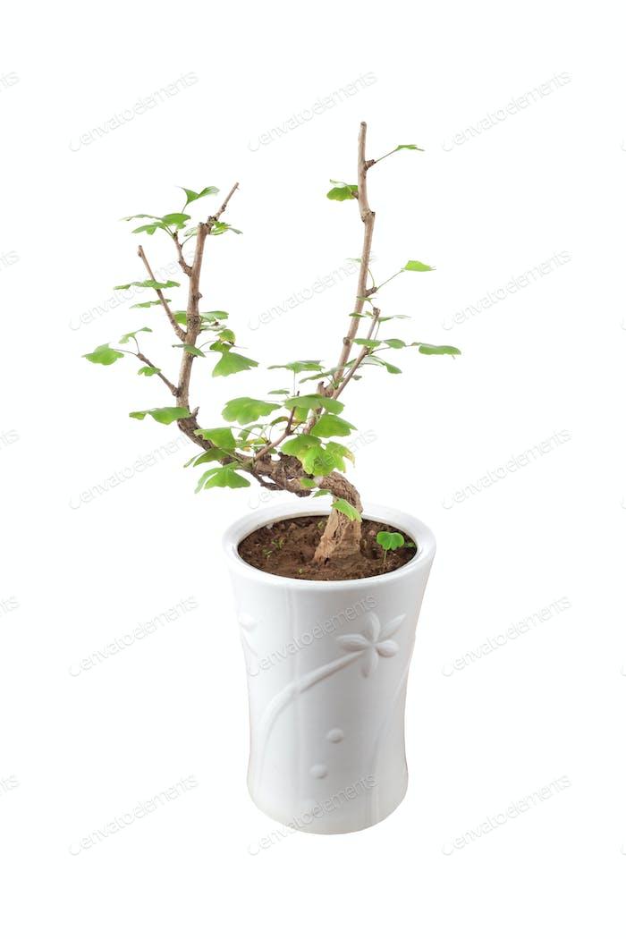 a small ginkgo tree