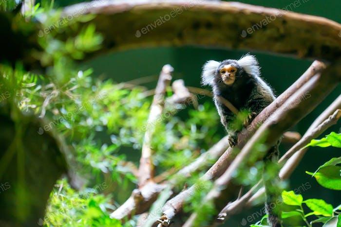 Common marmoset or Callithrix jacchus