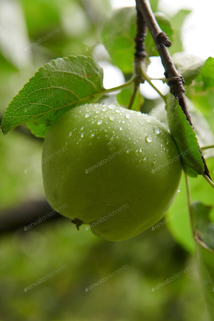 Green apples on branch