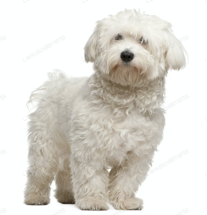 Maltese, 8 months old, sitting in front of white background