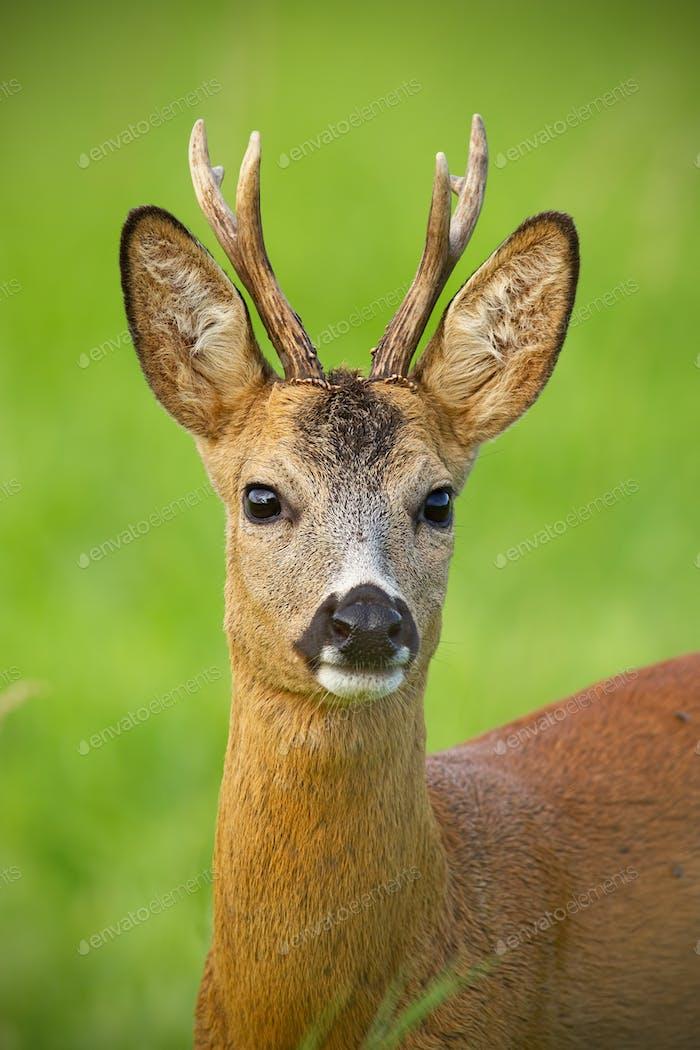 Detail of head of curious roe deer buck in wild