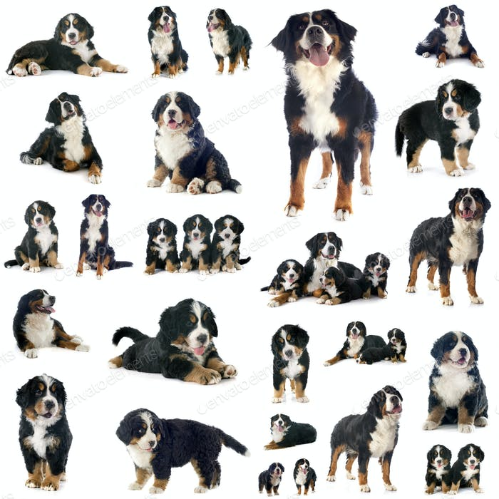 group of bernese mountain dog