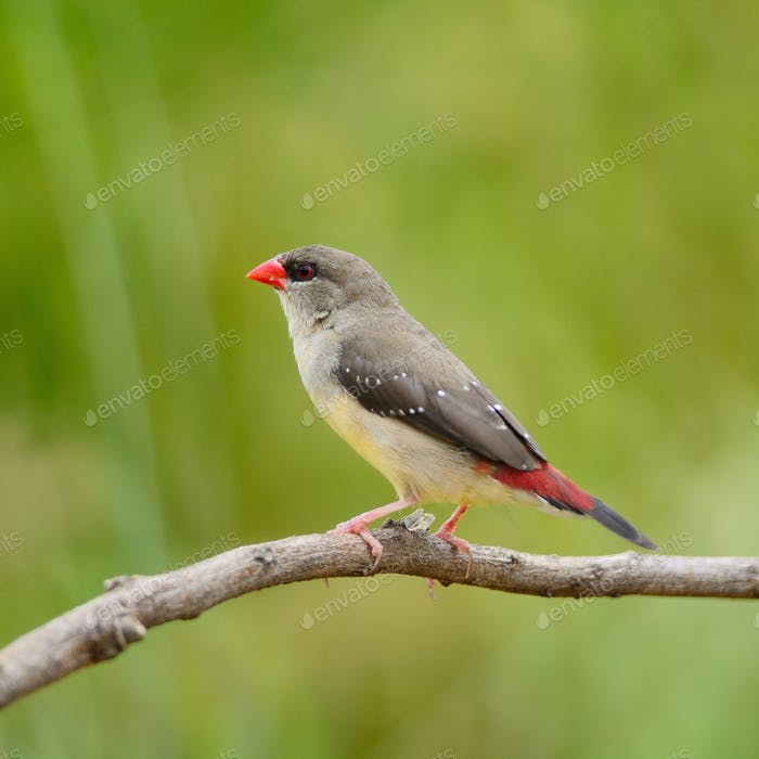 female Red Avadavat