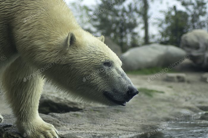 Polar bear closeup