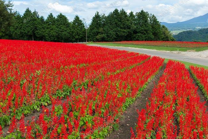 Salvia farm