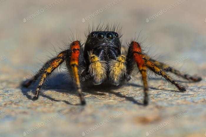 Red and black jumping spider