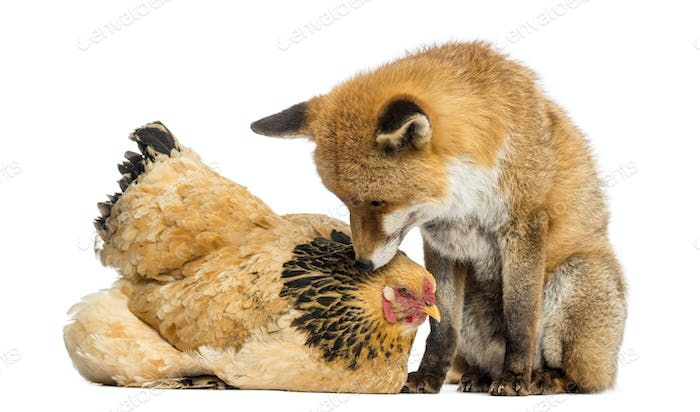 Red fox, Vulpes vulpes, sitting next to a Hen, lying, looking at each other, isolated on white