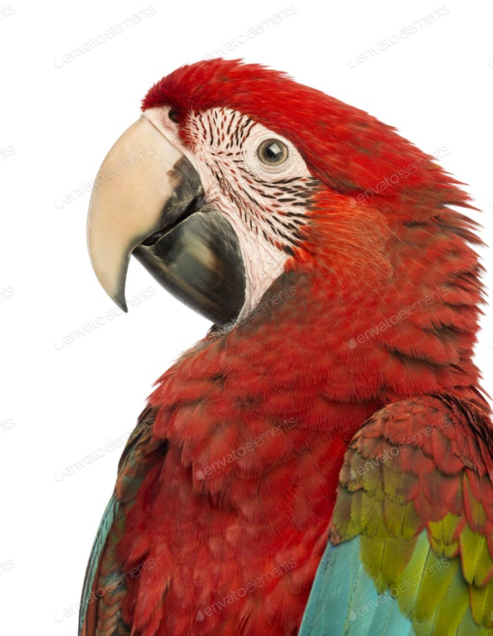 Side view close-up of a Green-winged Macaw, Ara chloropterus, 1 year