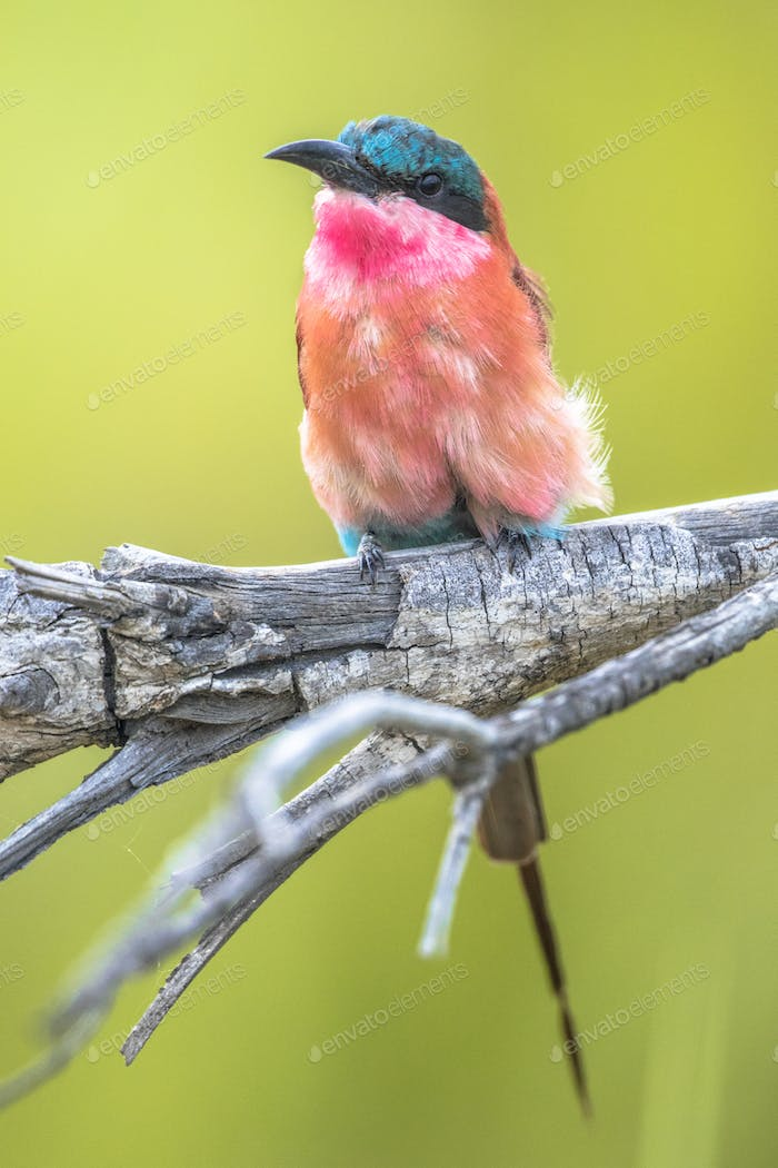 Southern carmine bee eater perched