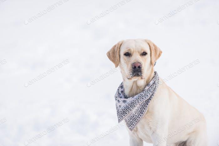 Labrador Hund Porträt
