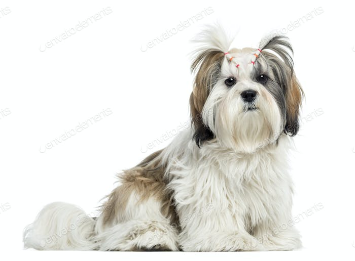 Lhassa apso sitting, looking at the camera, isolated on white