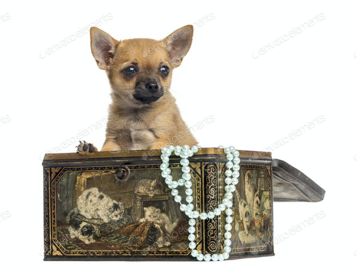 Chihuahua puppy in a vintage box, 4 months old, isolated on white