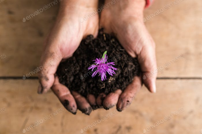 Top view of dirty hands holding a dainty purple flower in rich f