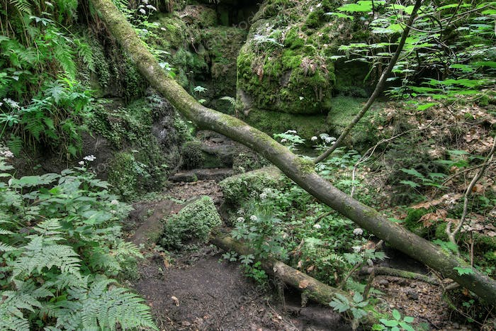 Fallen tree trunk - Gorges on the Kamenice River