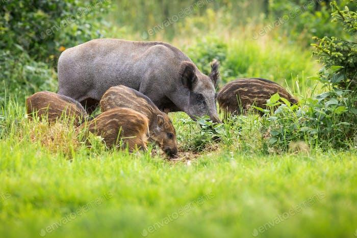 Wild boar family grazing on grassland in summer sunshine