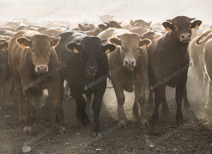 Calves in farm