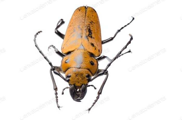 Trictenotomidae beetle