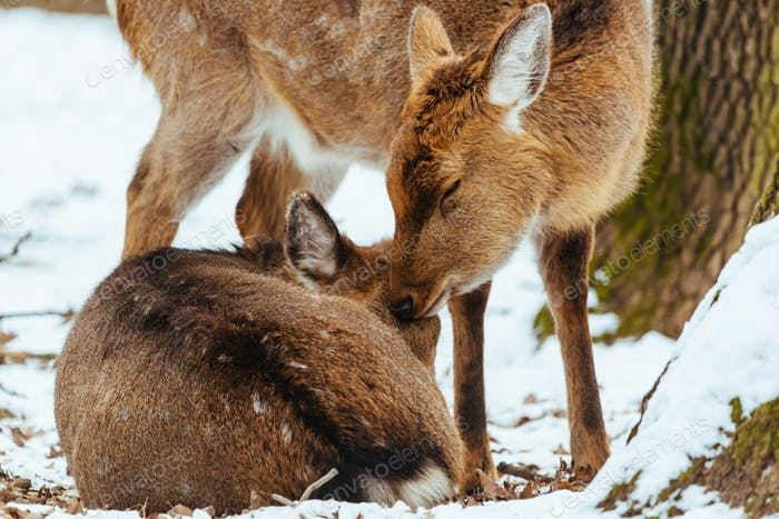 A couple of deer in love, deer kissing his companion