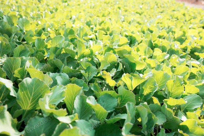 Organic vegetable at sunlight