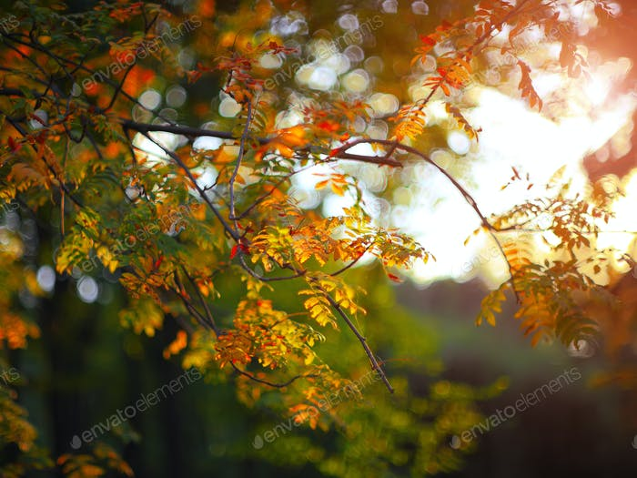 golden rowan tree leaves in the sunlight