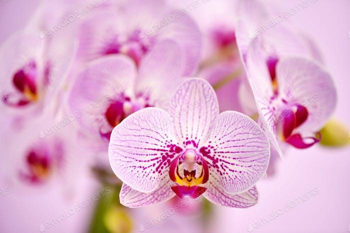 Schöne Orchideenblüten auf einem rosa Hintergrund. Floraler Hintergrund
