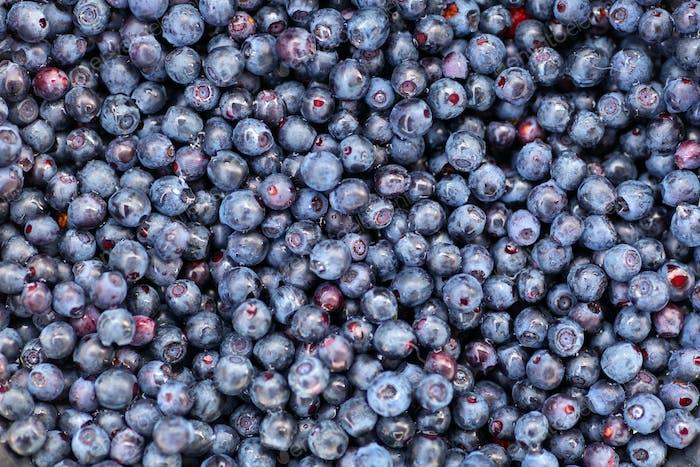 Freshly picked wild blueberry