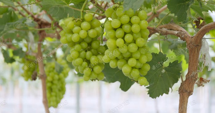 Green grape garden