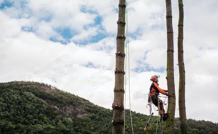 Baumbaummann mit Geschirr schneiden einen Baum, klettern