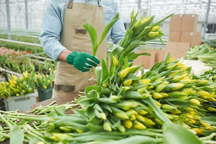 Sorting Tulips in Plantation