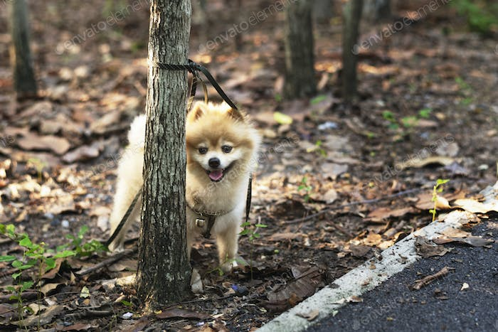 Pomeranian waiting for his owner