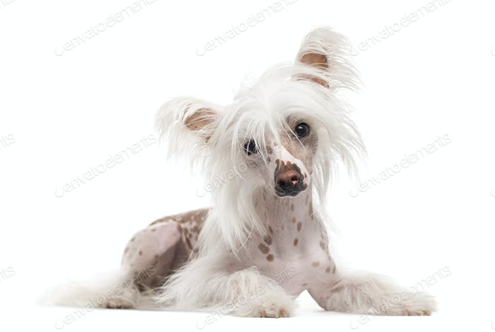 Chinese Crested Dog looking at the camera, isolated on white