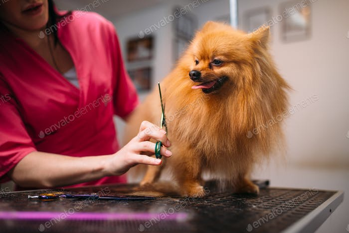 Pet groomer makes grooming dog