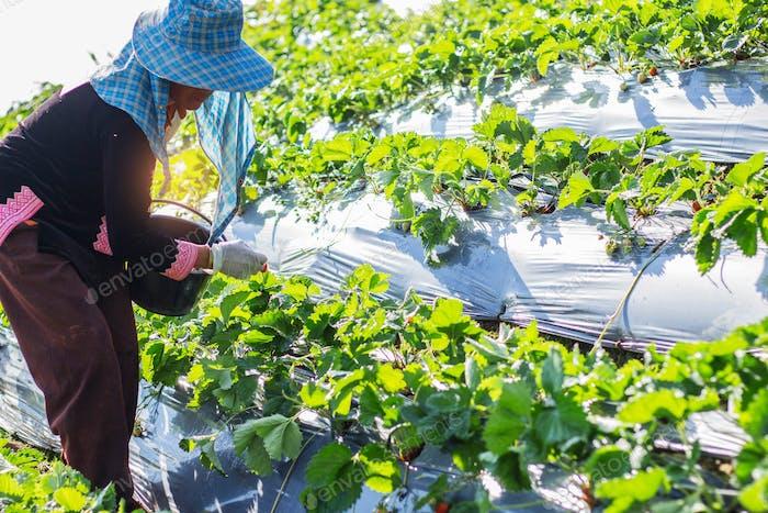 Садовники собирают клубнику