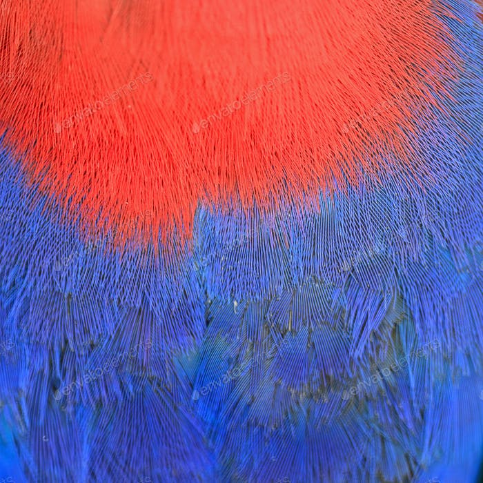 Electus parrot feather