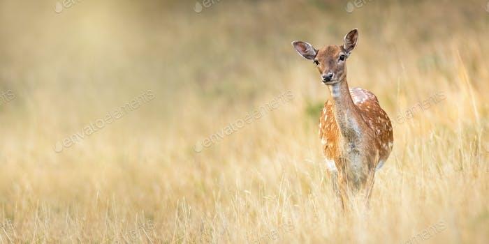 Fallow deer doe standing on meadow in autumn nature