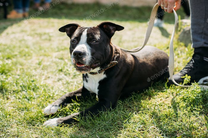 American Staffordshire Terrier Dog Lying In Green Grass