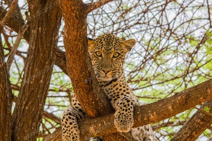 leopard in the african savannah