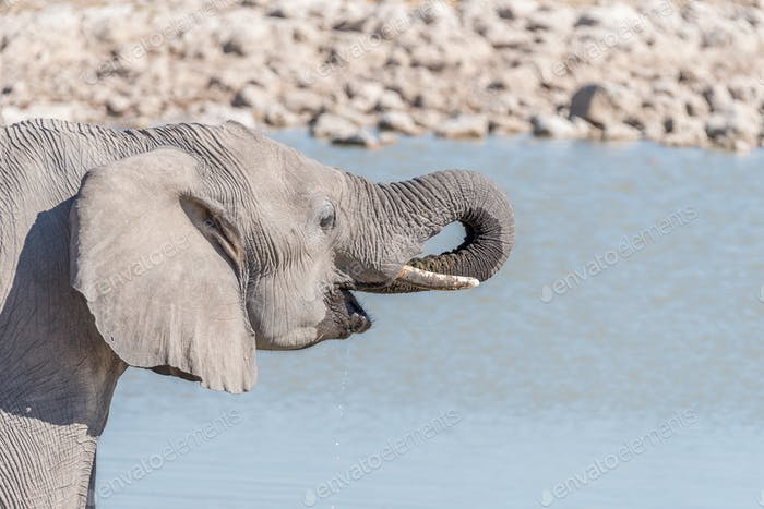 Close-up of an elephant drinking water at a waterhole