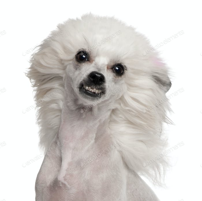 Chinese Crested Dog (1 year old)
