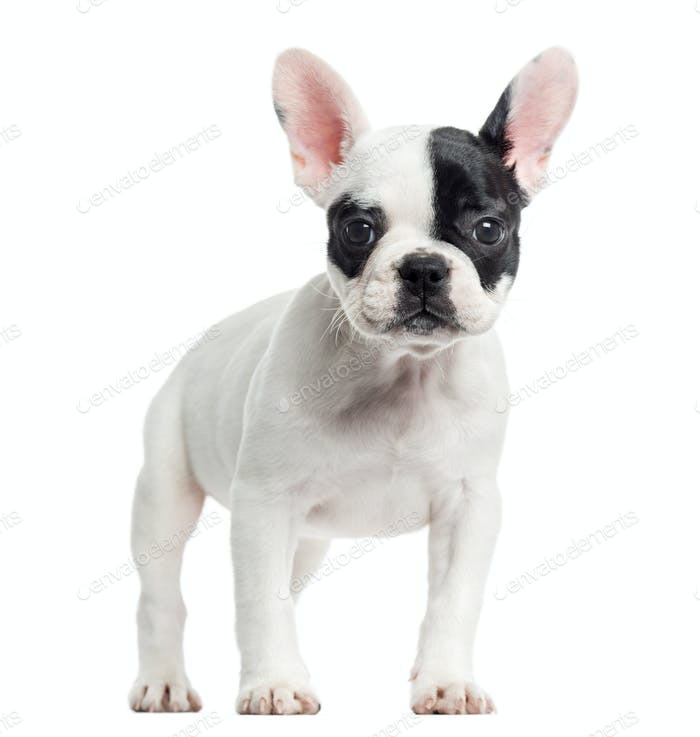 French bulldog standing, looking at the camera, isolated on white