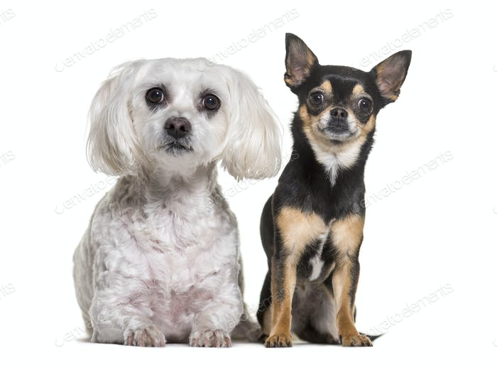 Chihuahua and Maltese dogs standing, cut out